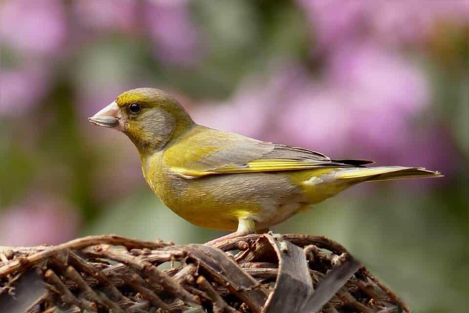 greenfinch-818185_960_720